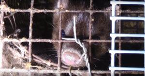 Irlanda: nuova investigazione negli allevamenti di visone