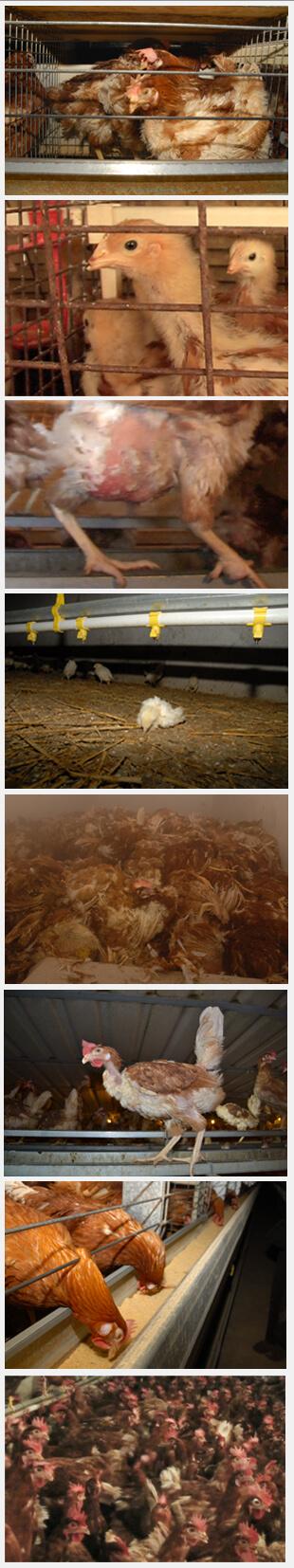 Le fabbriche di uova
