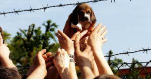 Beagle liberati da Green Hill