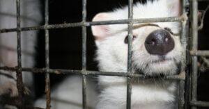 Il prezzo della pelliccia: la realtà degli allevamenti polacchi