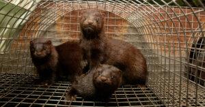 Morire per una pelliccia: investigazione negli allevamenti di visoni in Italia