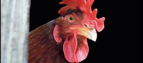 Virus Aviaria: uccisi oltre un milione di animali