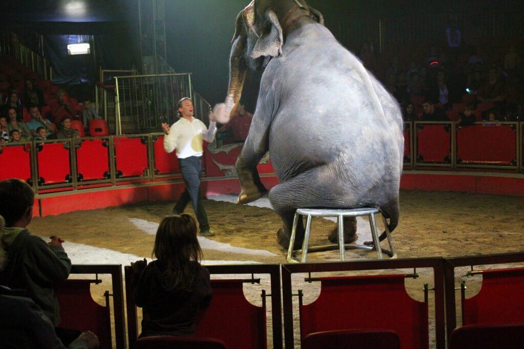 Elefante seduto su una sedia da circo con addestratore