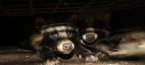 Polonia, una battaglia senza freni contro gli allevamenti di volpi e visoni