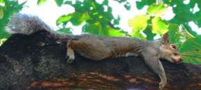SALVIAMO gli scoiattoli grigi!