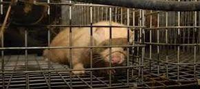 Sicilia, proposto il divieto di allevamento animali da pelliccia