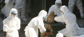 Aviaria: come ti fabbrico la psicosi e ti vendo il vaccino