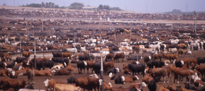 Produzioni animali, nuovo studio conferma l'insostenibilità