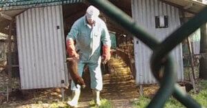 Pellicce: indagine mostra visoni uccisi nelle camere a gas