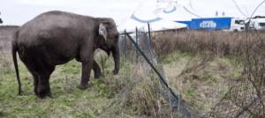 Elefante scappa dal circo e uccide un anziano
