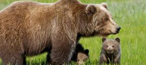 Pericolo per l'orsa KJ2, viva o morta dev'essere catturata