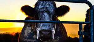 Cowspiracy: intervista ai registi