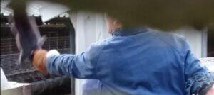 Nuovo video mostra l'uccisione dei visoni in Olanda