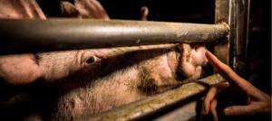 7 cose che troviamo sempre negli allevamenti di maiali