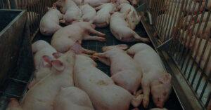 Crolla il numero dei maiali in Lombardia