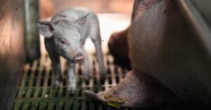 Gli allevamenti di maiali italiani in 50 foto di Jo-Anne McArthur