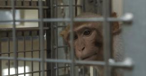 L'Olanda chiede uno stop ai test sui primati