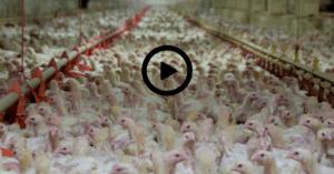 Allevamenti intensivi e antibiotico-resistenza: connubio killer