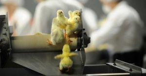 Stop alla strage di pulcini: buone notizie dagli Stati Uniti