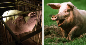 Che vita preferisci per i maiali?