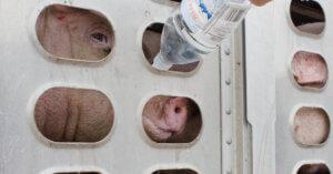 Donna rischia il carcere per aver dato da bere a dei maiali sofferenti