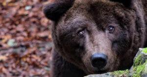 Addio a Bruno, l'orso che ha fatto chiudere uno zoo