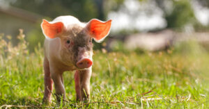 Yes! Uno stato americano vieta alcune pratiche crudeli per gli animali