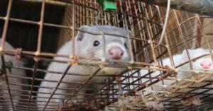 Giappone: Stop agli allevamenti di visoni