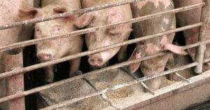 Sai davvero con cosa nutrono gli animali negli allevamenti?