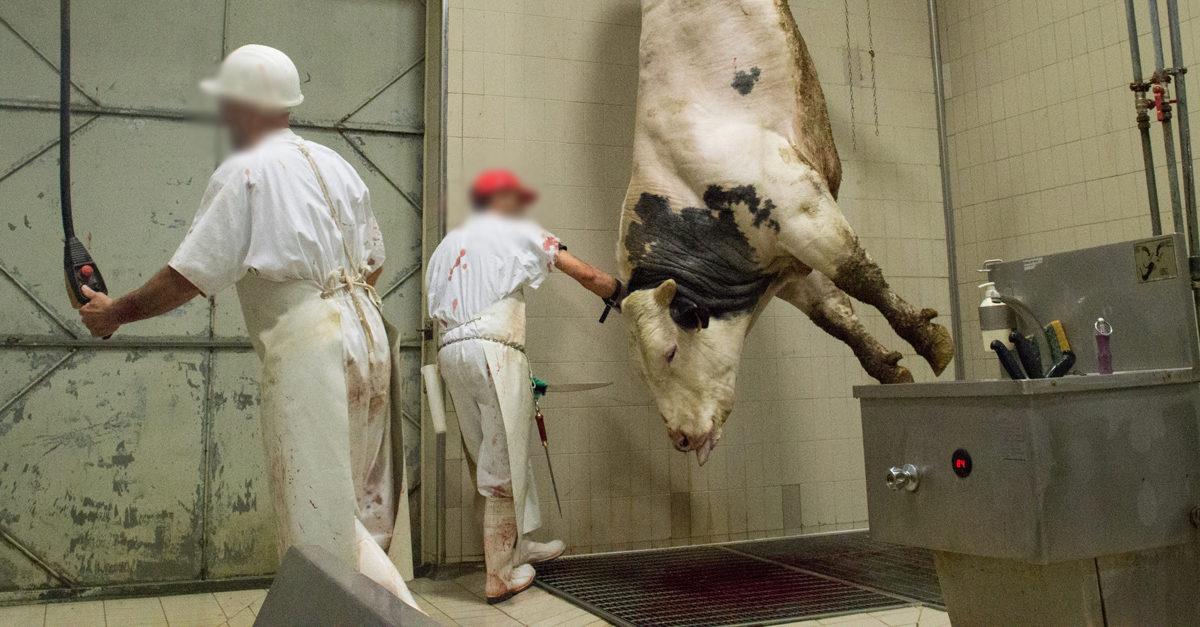 macelli-mucche-francia_essereanimali