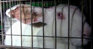 UE ha votato per il benessere dei conigli d'allevamento