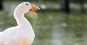 Bruxelles vieta il Foie Gras: un esempio da seguire