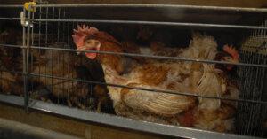 Nuovo video mostra le pessime condizioni delle galline in gabbia