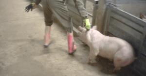 Belgio: chiuso macello dopo un'indagine di un'associazione per i diritti animali