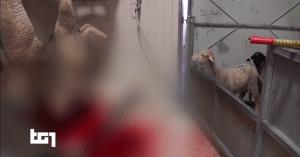 Al Tg1 nostre immagini sulla macellazione degli agnelli