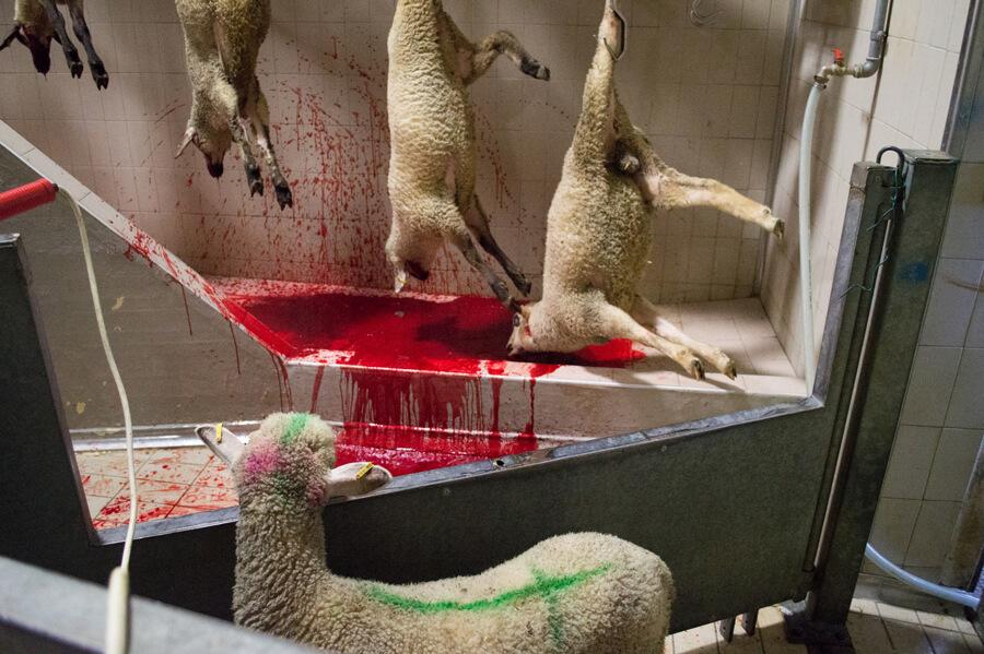 agnelli macello violenza maltrattamenti