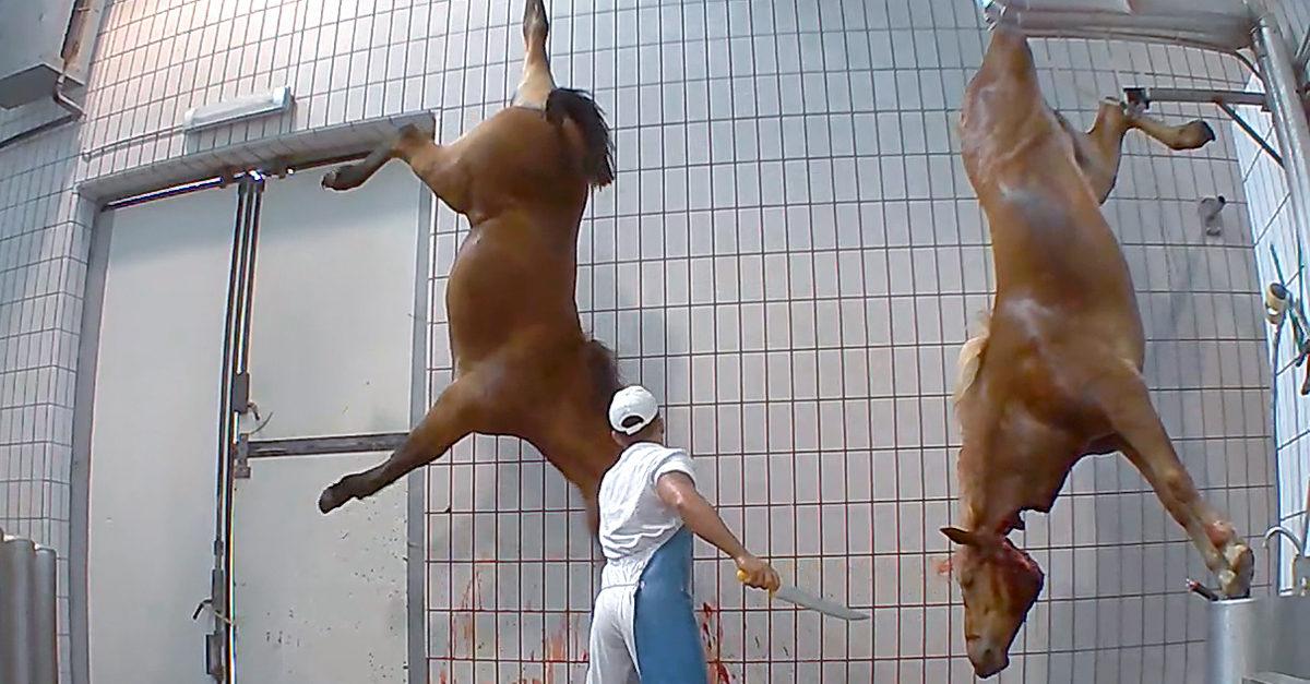 cavalli macellazione