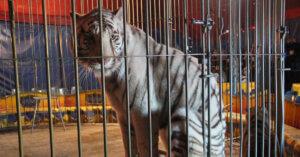 Federazione dei Veterinari chiede al Governo di dismettere gli animali nei circhi