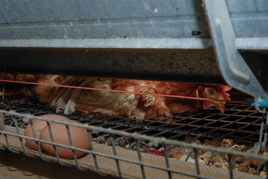 gallina uova fabbriche di uova
