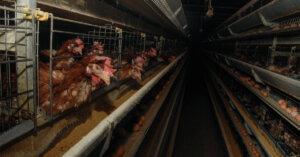 Tutte le fasi della produzione di uova: video, foto e spiegazioni