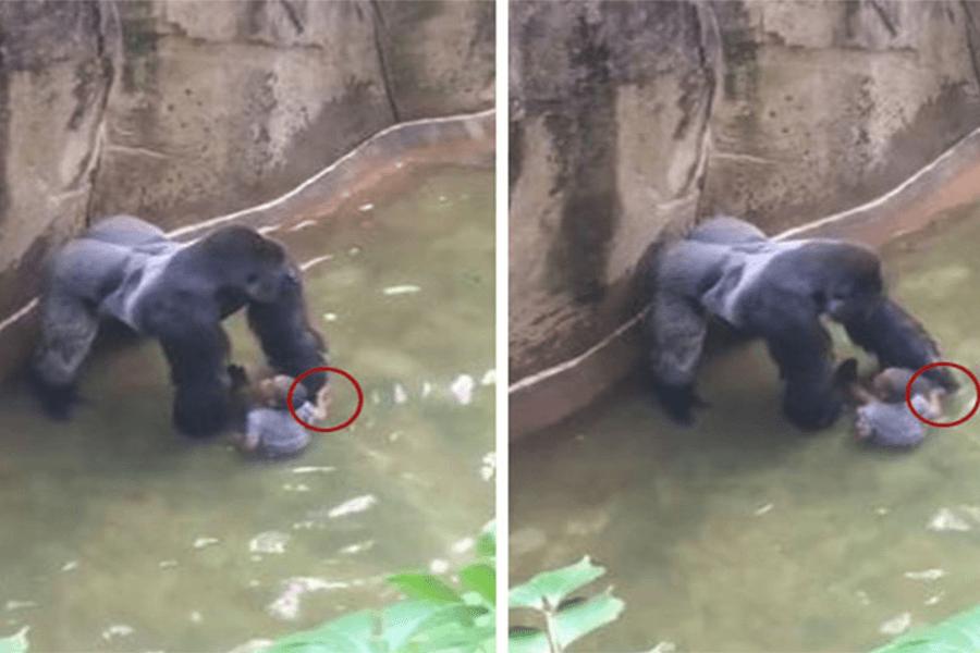 gorilla harambe