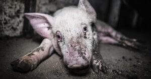 Prosciutto di Parma ancora immagini di crudeltà verso gli animali
