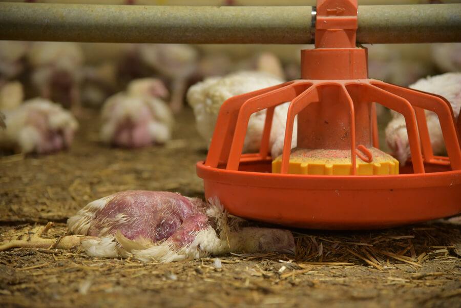 pollo allevamento intensivo