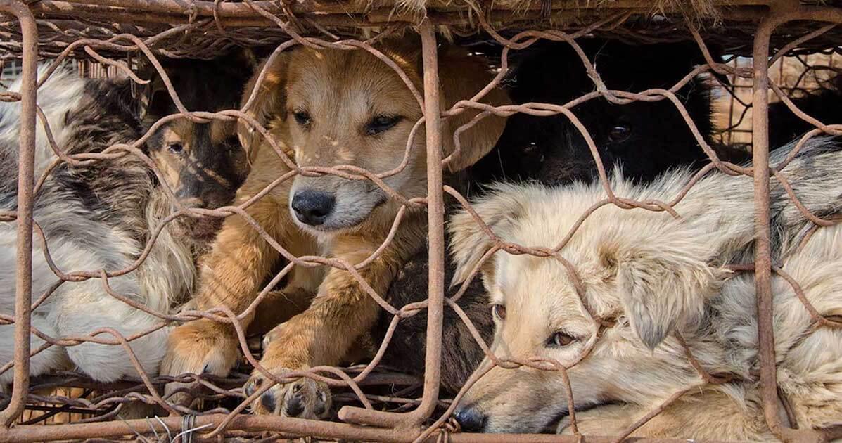 stop a carne di cane a Yulin?