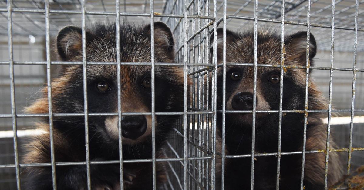 Cani procione in gabbia