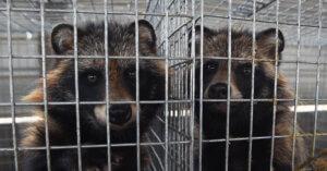 Europa: vietati allevamenti di cane procione per le pellicce