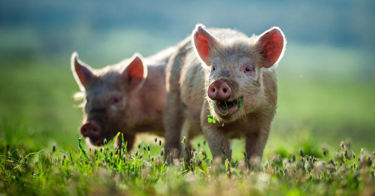 ricercatrice fa uno studio sui maiali e capisce perché smettere di mangiarli