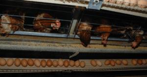 10 milioni di uova provenienti dagli allevamenti intensivi ritirate dal mercato
