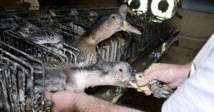 In California non si potrà più vendere Foie Gras!