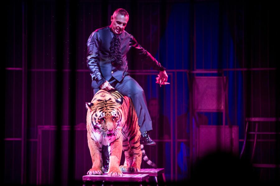 spettacolo circo tigre animali al circo medrano in Italia